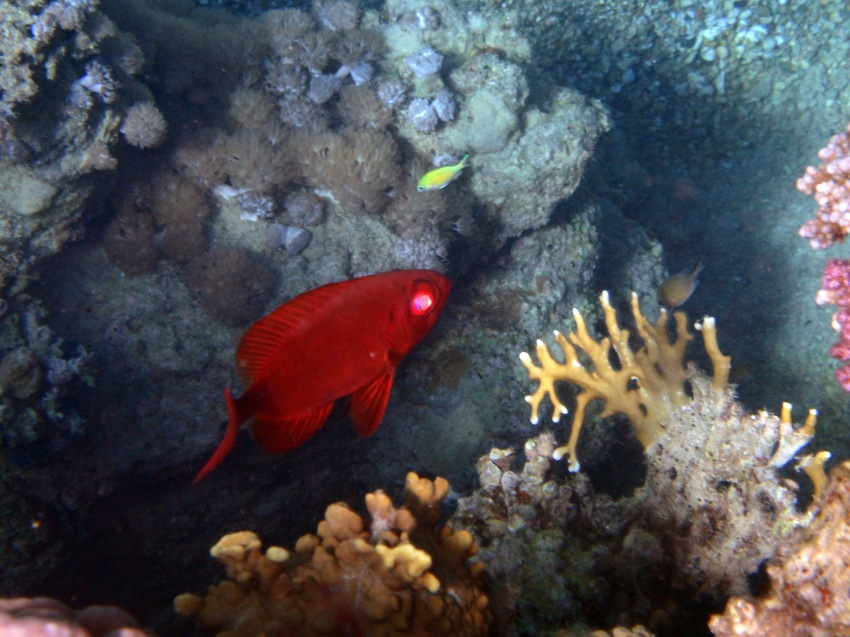 Big Eye in the Red Sea