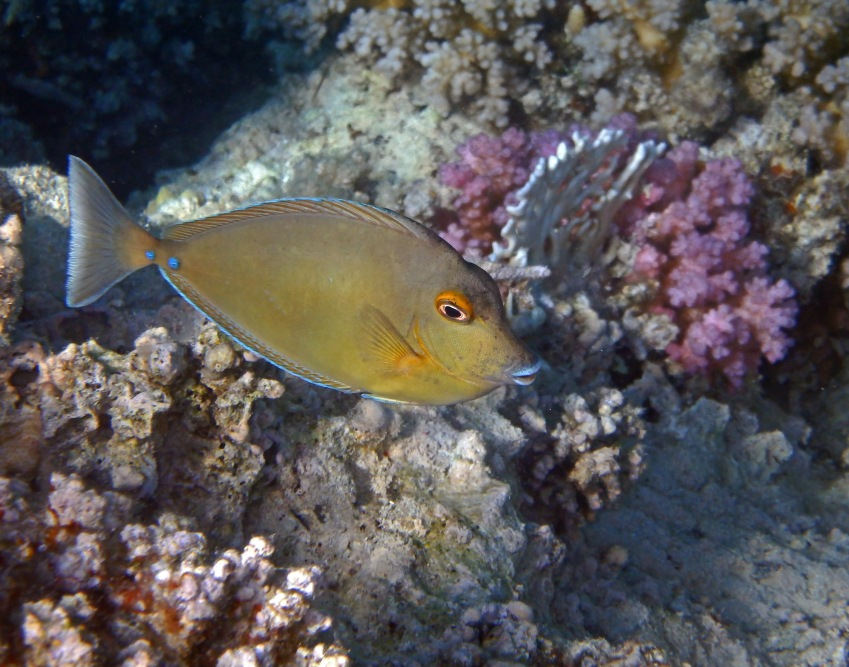 A juvenile Bluespine Unicornfish
