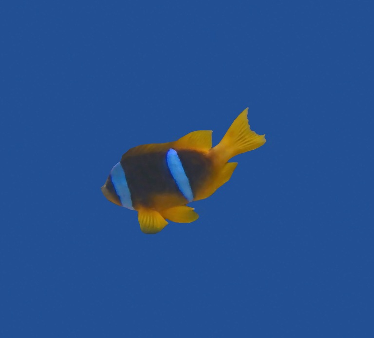 Anemonefish on blue