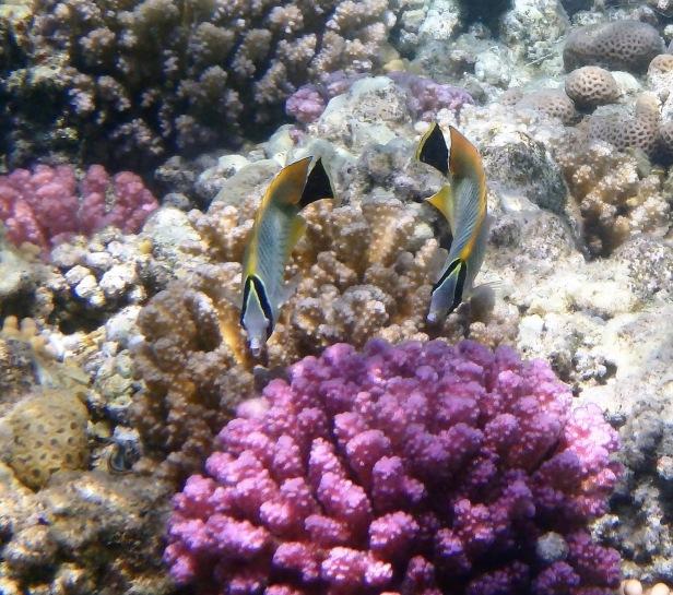 Chevron Butterflyfish couple