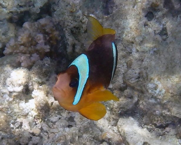 Clownfish in the Red Sea