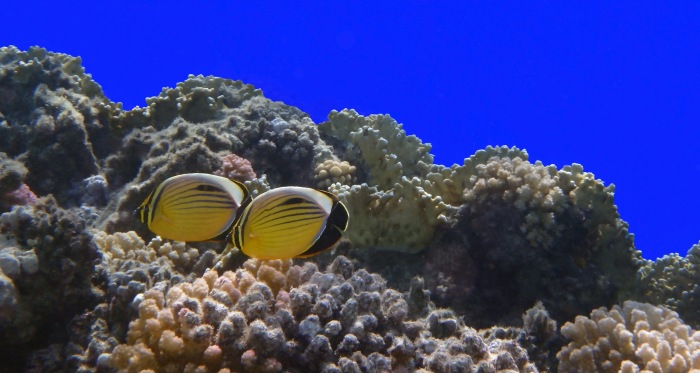 Exquisite Butterflyfish Couple