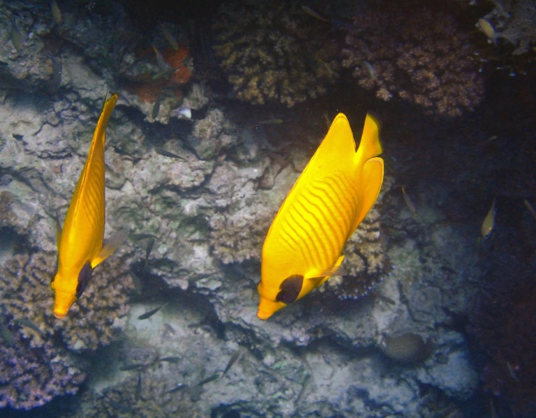 Masked Butterflyfish couple