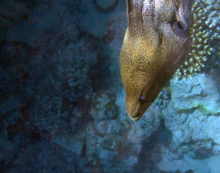 Red Sea Giant Moray Closeup