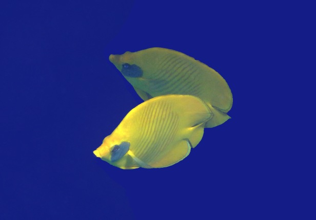 Red Sea Masked Butterflyfish