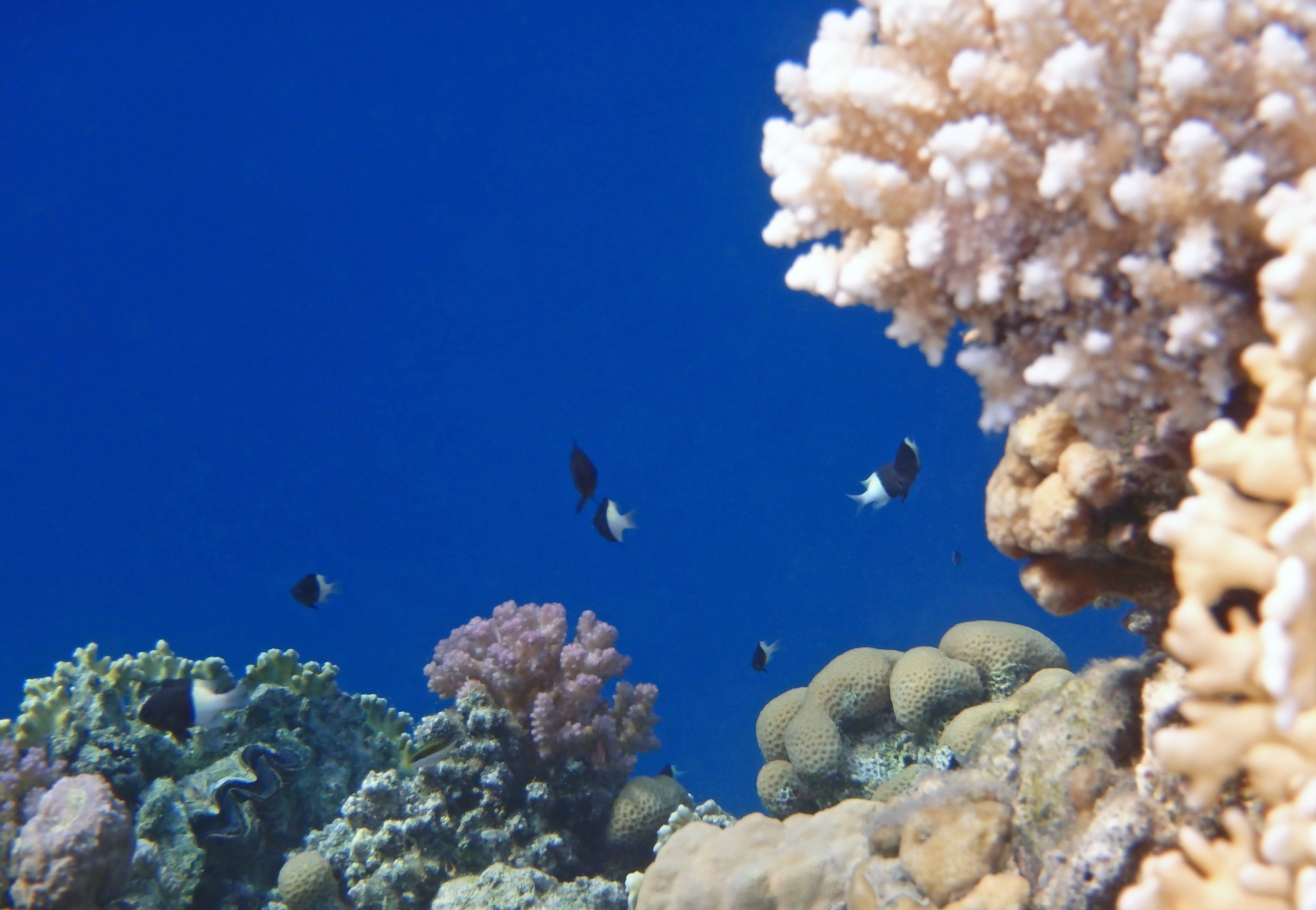 HalfAndHalf Chromis Colony