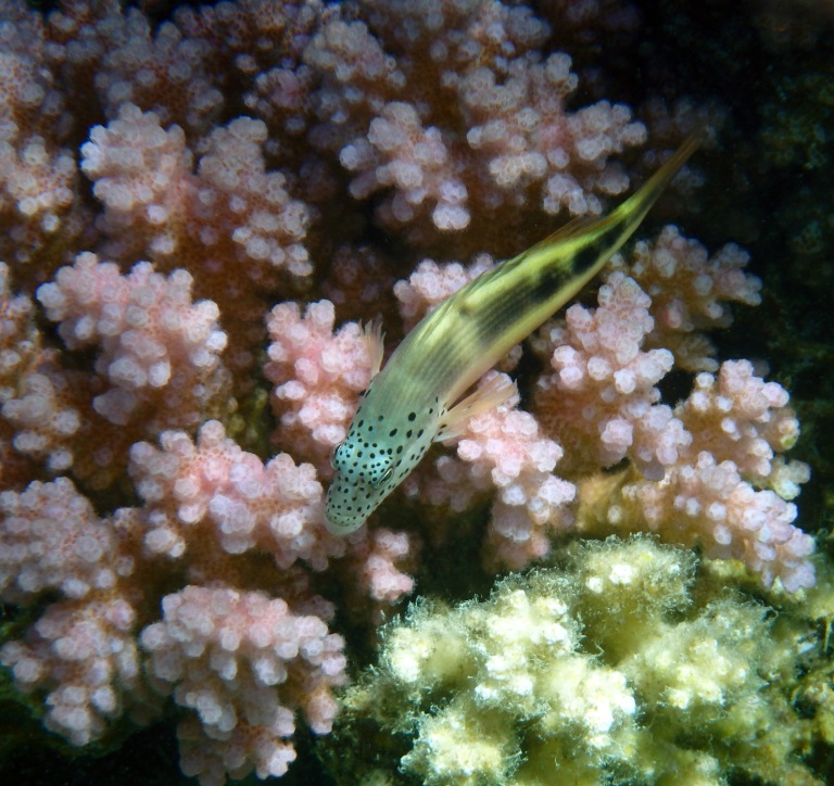 Blackside Hawkfish juvenile