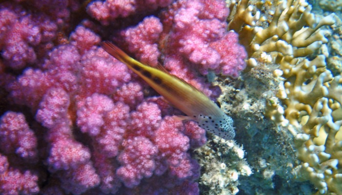 Blackside Hawkfish_juvenile_3