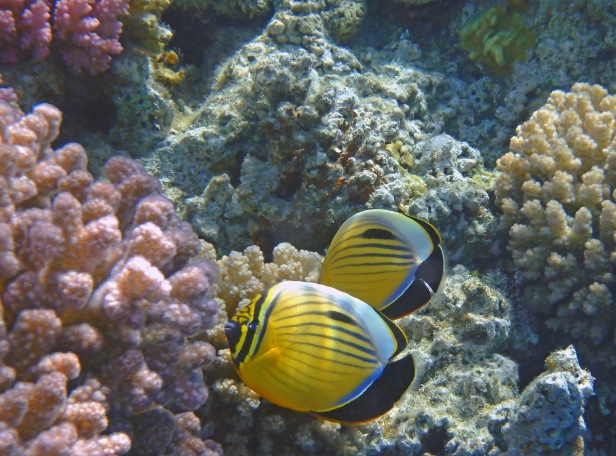 Beautiful Exquisite Butterflyfish couple in the Red Sea_blog