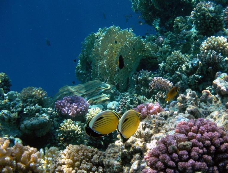 Exquisite Butterflyfish 2014