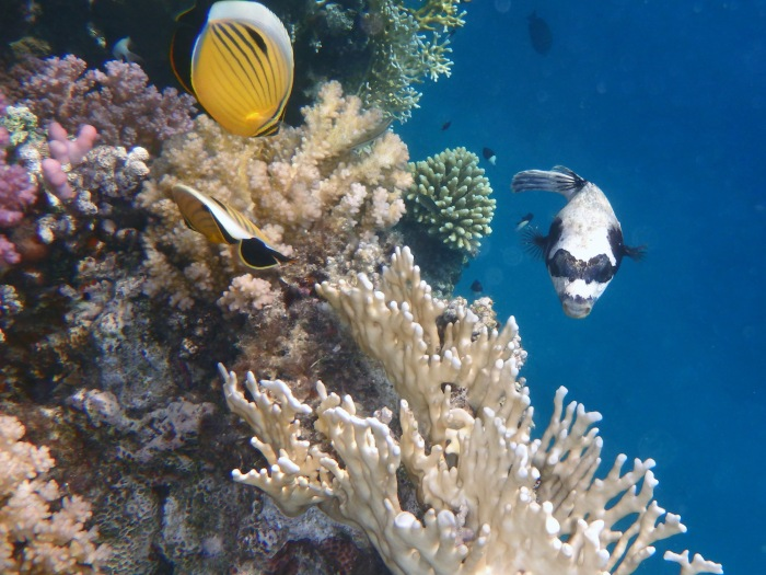 Exquisite Butterflyfish and Masked Pufferfish_2_Red Sea 2014