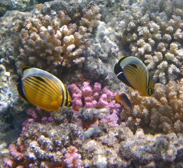 Exquisite Butterflyfish couple 4