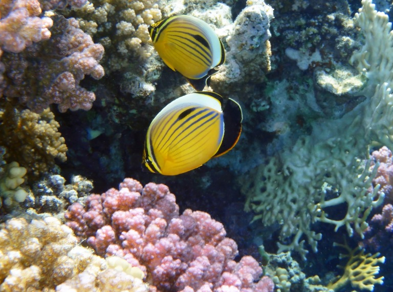 Exquisite Butterflyfish couple 5