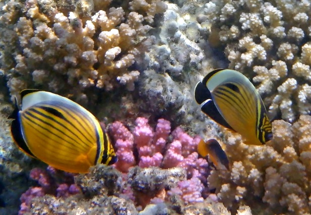 Exquisite Butterflyfish couple among corals