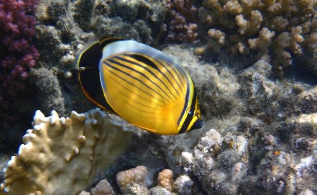 Exxquisite Butterflyfish Port Ghalib 2015