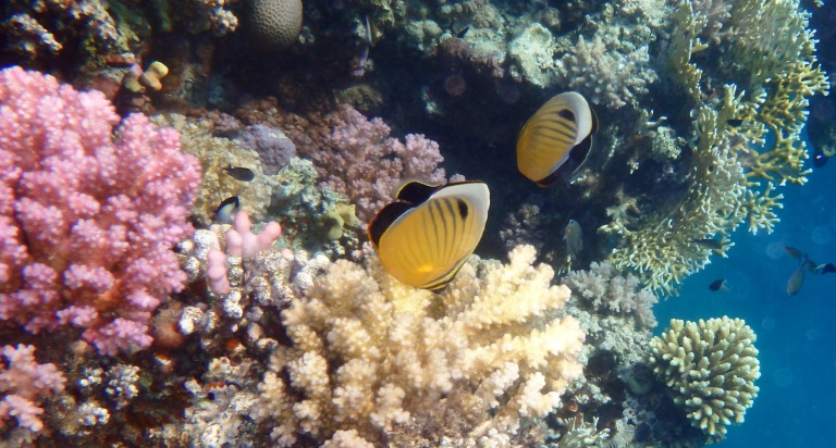 Exquisite Butterflyfish Red Sea 2014