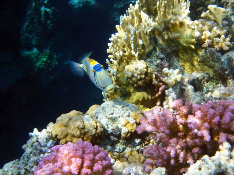 Picassofish In The Colorful Red Sea
