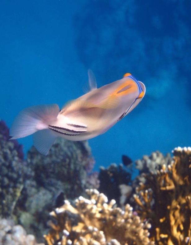 Picassofish Swimming Away