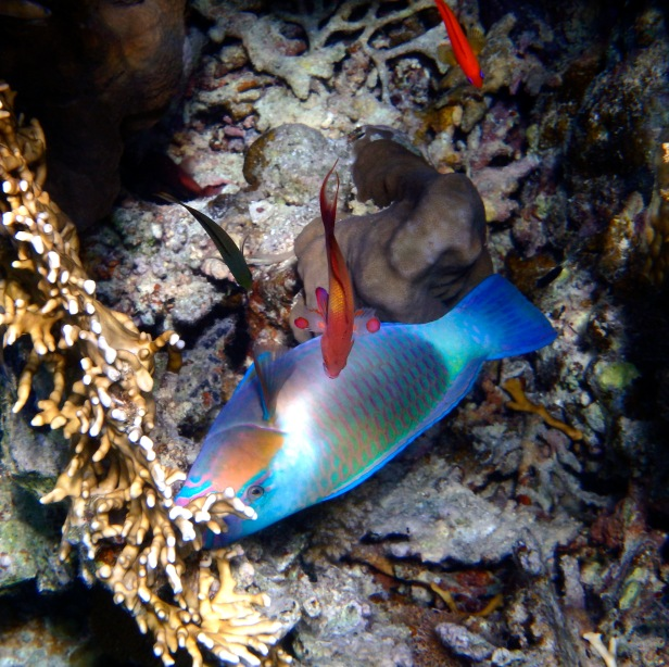Red Sea Parrotfish and Anthias