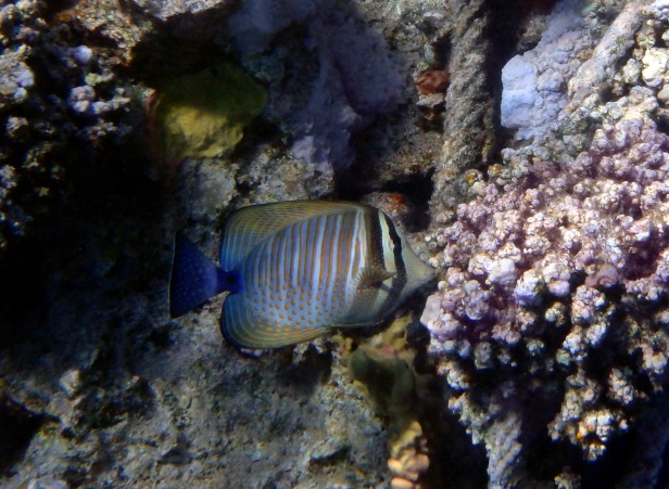 Beautiful Sailfin Tang.jpg