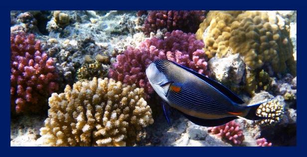 sohal-surgeonfish-panorama