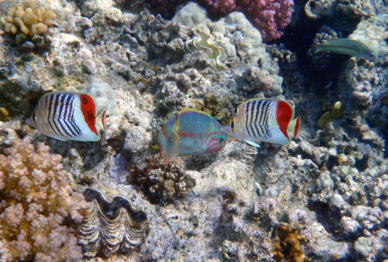 Crown Butterflyfish and Klunzingers Wrasse Red Sea 2014