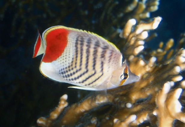 Crown Butterflyfish Closeup