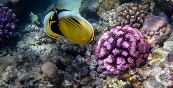 Beautiful Butterflyfish And Corals