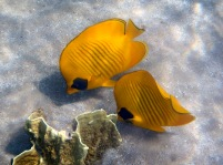 The blue-cheeked butterflyfish, Chaetodon semilarvatus, is a species of butterflyfish. It is found in the Red Sea and the Gulf of Aden, at depths of between 3 and 20 m.