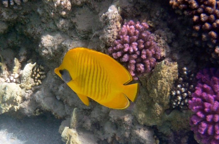 The Bluecheeked Butterflyfish 2