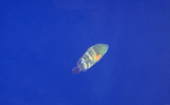 Broomtail Wrasse In The Blue