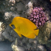 cropped-the-bluecheeked-butterflyfish-2