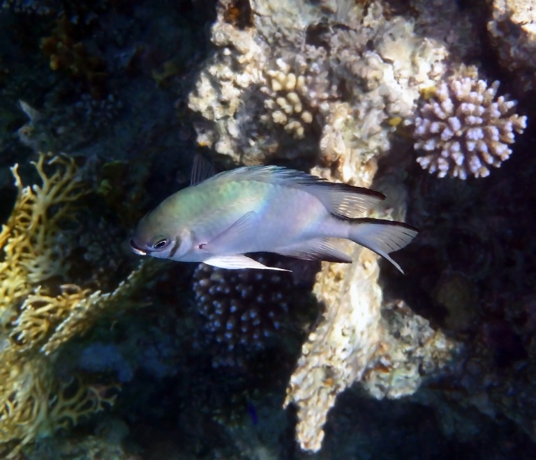 Whitebelly Damselfish