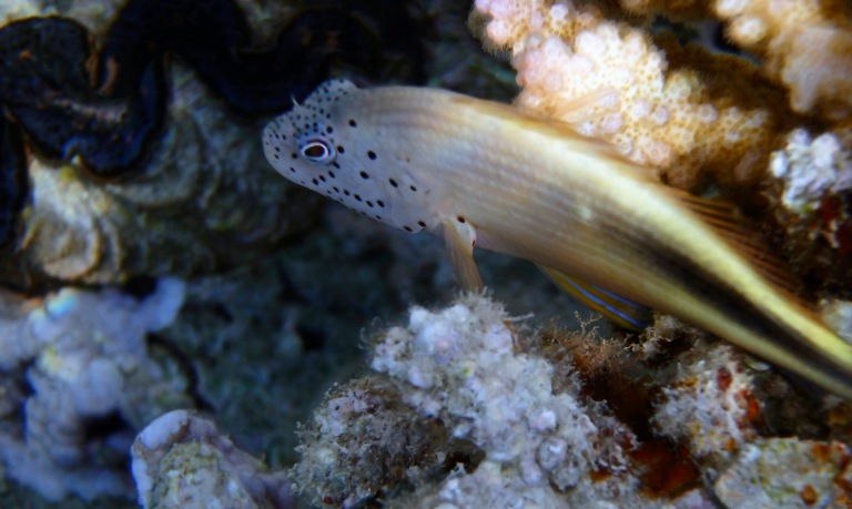 Blackside Hawkfish Juvenile 2.jpg