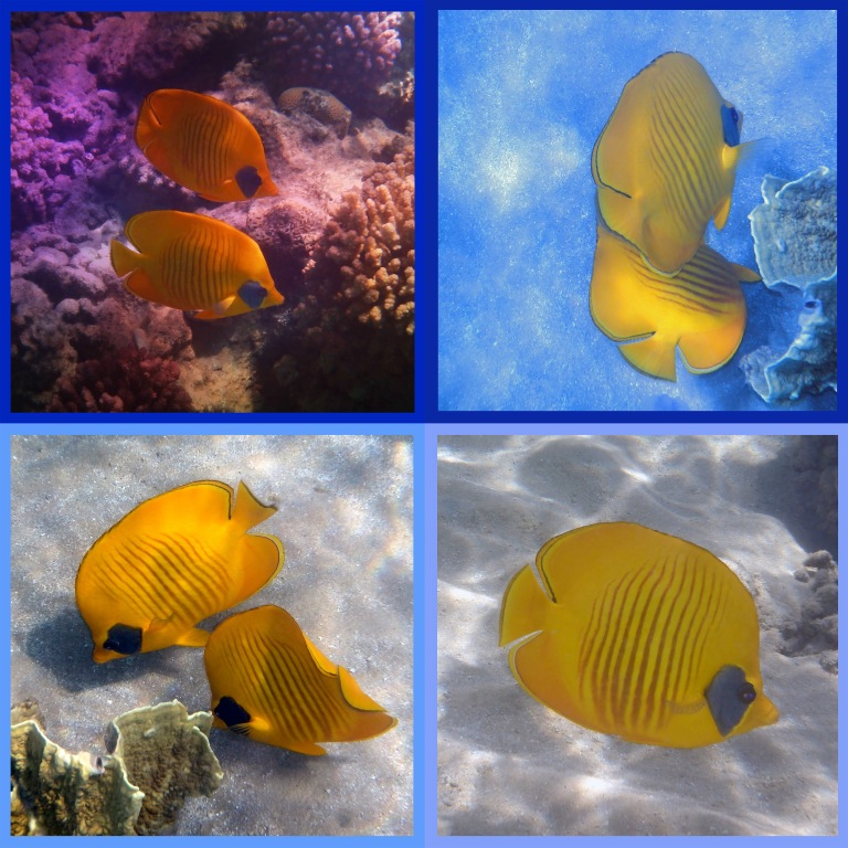 The Red Sea Masked Butterflyfish Sealife Collage