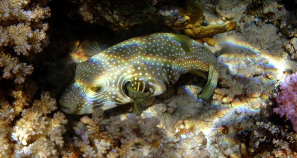 whitespotted-pufferfish-johanna-hurmerinta (1)