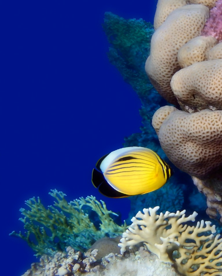 Beautiful Red Sea Butterflyfish And Colorful Corals