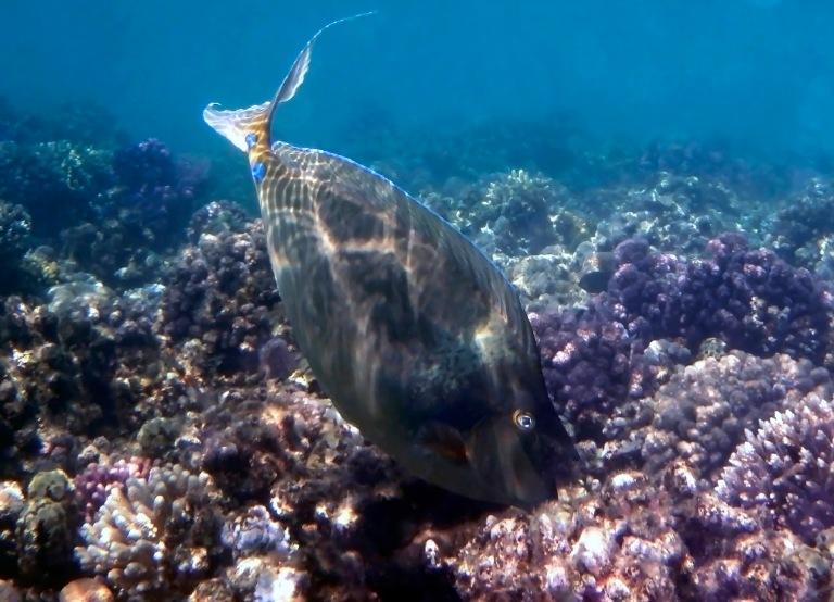 Bluespine Unicornfish Red Sea