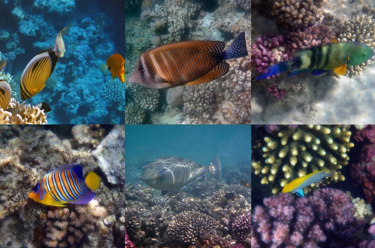 Beautiful Red Sea Sealife Collage 2019.jpg