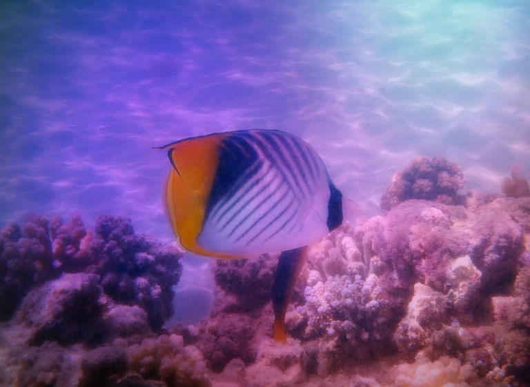 The Red Sea Threadfin Butterflyfish.jpg