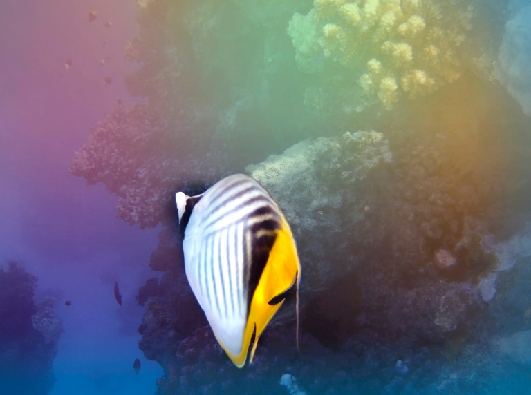 Following The Threadfin Butterflyfish .jpg