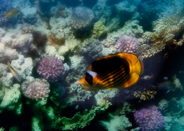 The Red Sea Raccoon Butterflyfish Colorfully.jpg