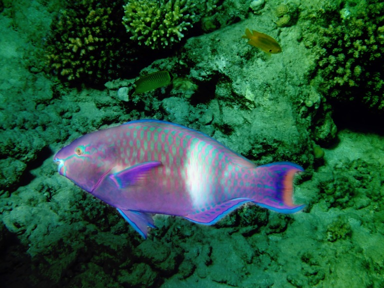 Purple Brown Parrotfish