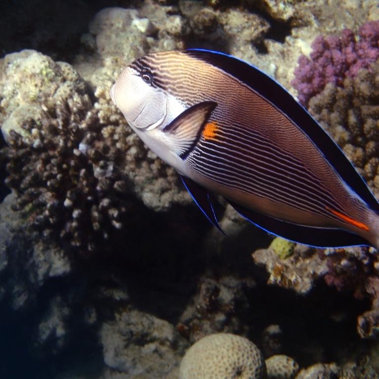 Sohal Surgeonfish Closeup