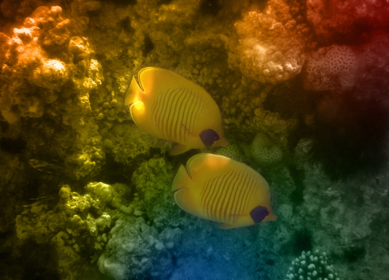 Red Sea Masked Butterflyfish Colorfully